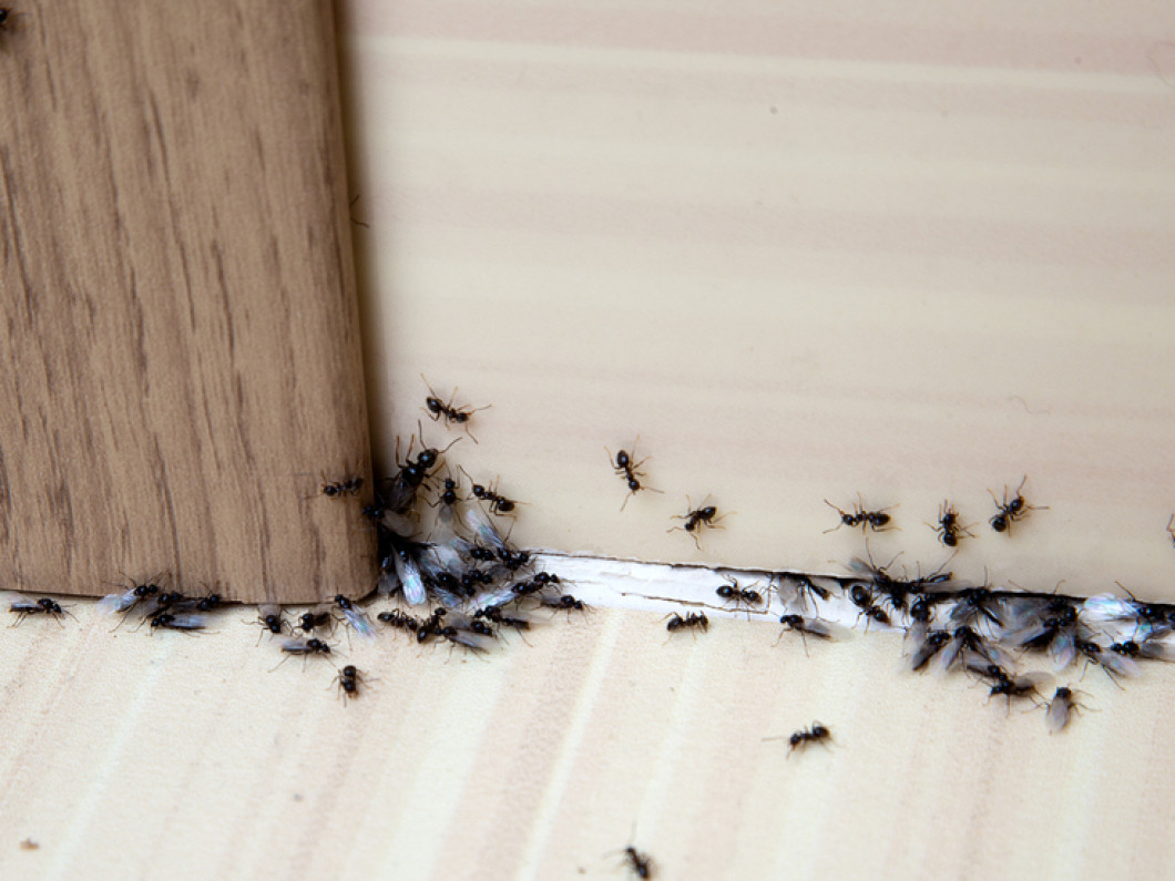 Ant Extermination in Worcester, MA